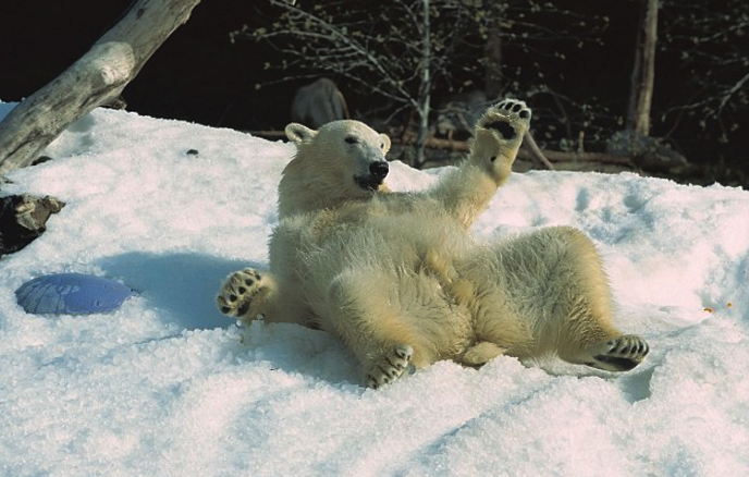 Watch What Happens When Polar Bears At The Zoo Get Snow Frankies